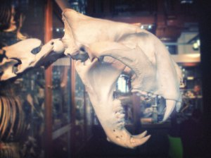 Tiger skull at the Grant Museum of Zoology