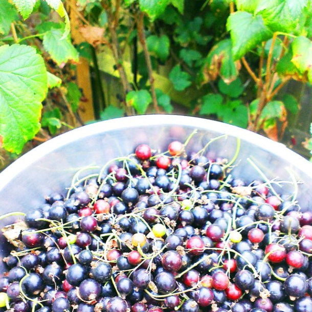 picking balckcurrants